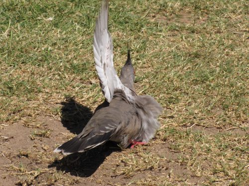 Crested Pigeon sunning itself