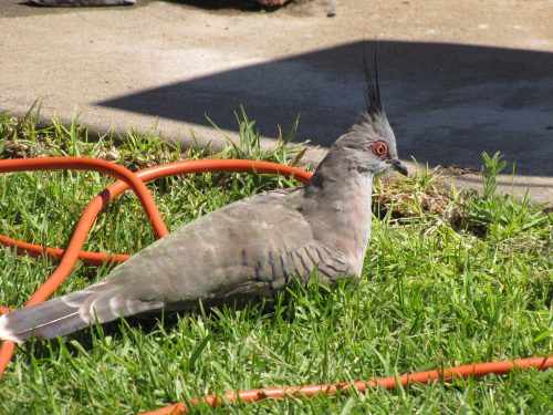 Crested Pigeon near our caravan