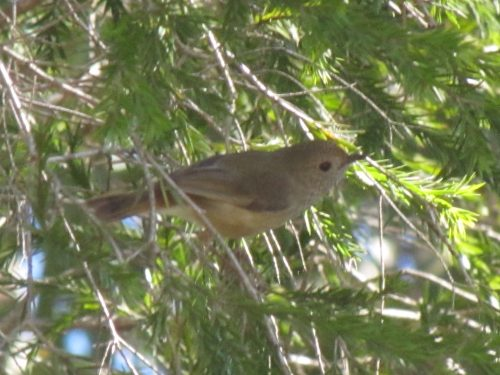 Striated Thornbill (?)