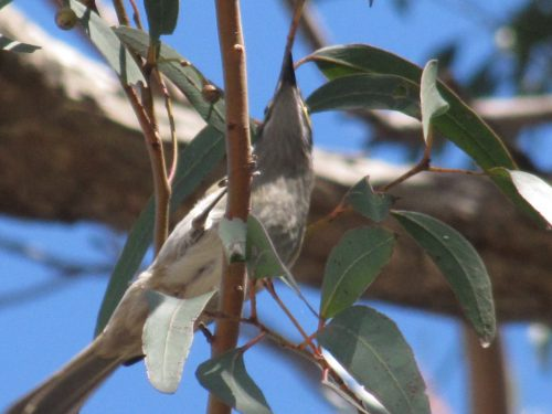 Yellow-faced Honeyeater (?)