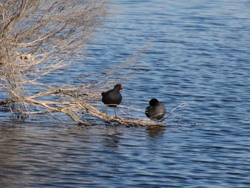 Dusky Moorhen (left) and Eurasian Coot (right)