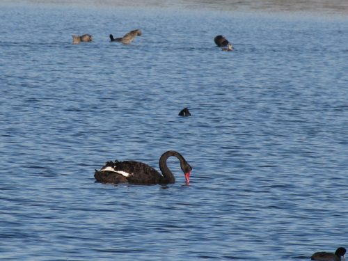 Black Swan, Murray Bridge