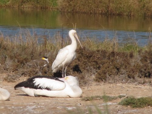 Australia Pelican, Yellow-billed Spoonbill, Masked Lapwing