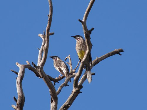 Red Wattlebirds