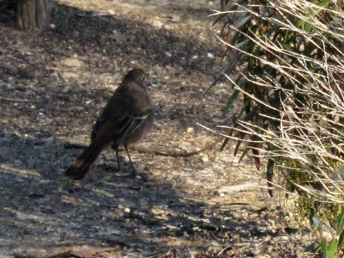 Southern Scrub Robin, Monarto Conservation Park