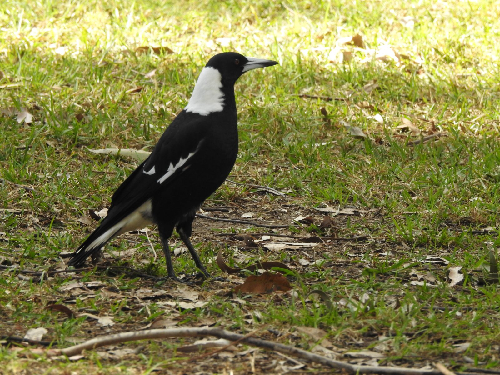 Australian Magpie (Black-backed)