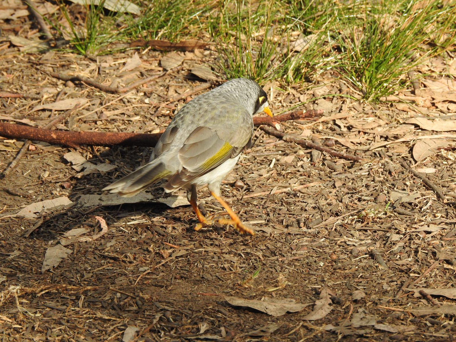 Noisy Miner, Lane Cove National Park, Sydney