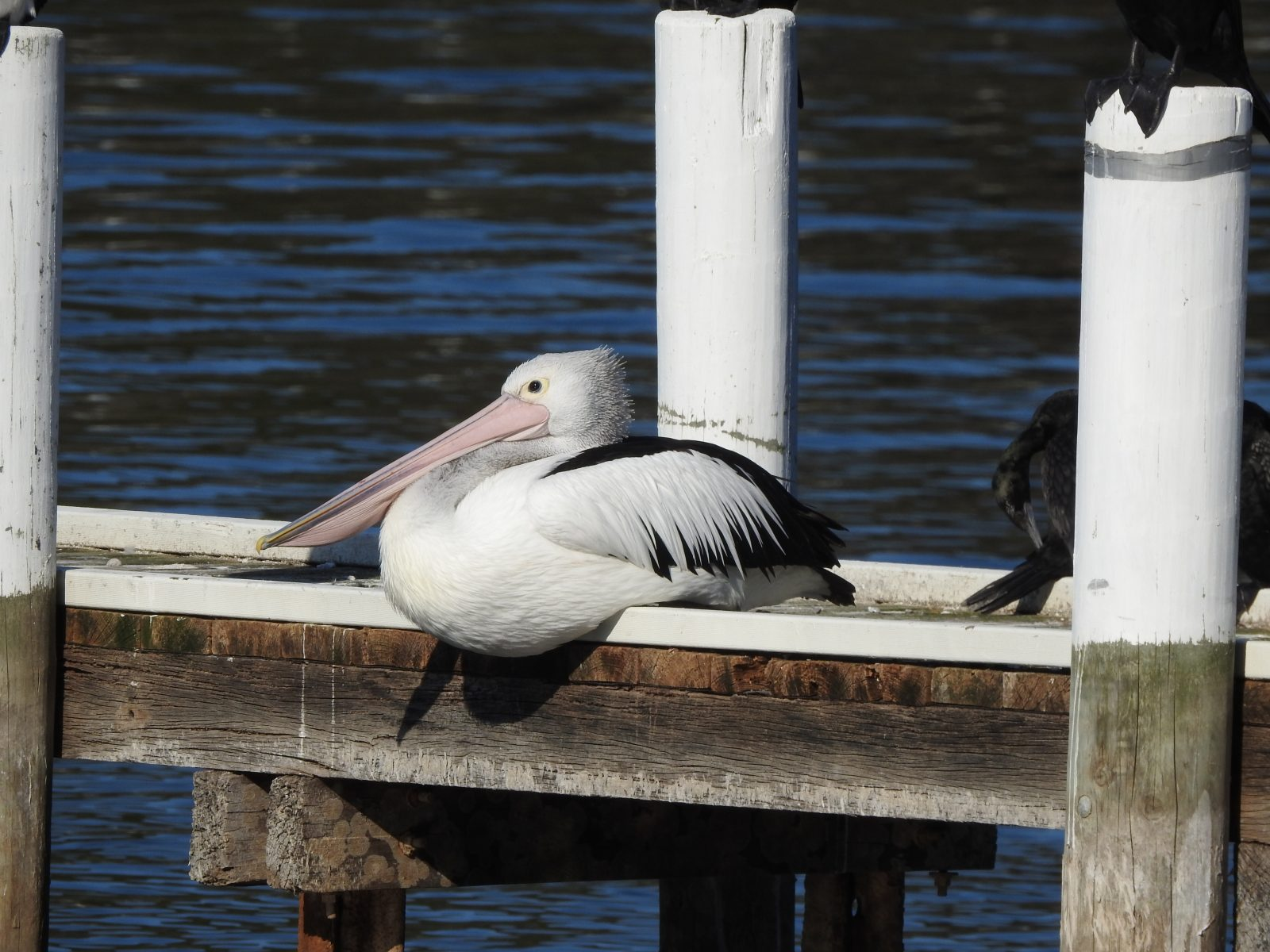 Photo of an Australian Pelican resting on a jetty in Mallacoota, Victoria