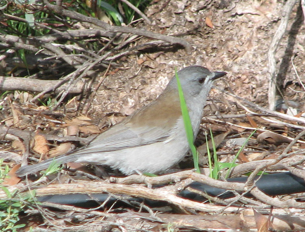 One of Australia's most beautiful songbirds, the Grey Shrike-thrush
